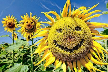 """""""Lachende"""" Sonnenblumen stehen auf einem Feld bei Zielitz unweit von Magdeburg und machen mit ihrem Namen dem derzeitigen Wetter alle Ehre, aufgenommen am Montag (06.08.2007). Foto: Andreas Lander dpa/lah +++(c) dpa - Bildfunk+++"""